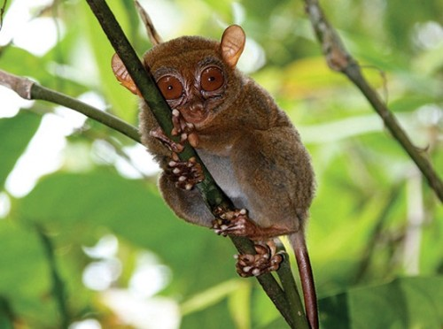 New Tiny Tarsier Specie Discovered in Dinagat Island