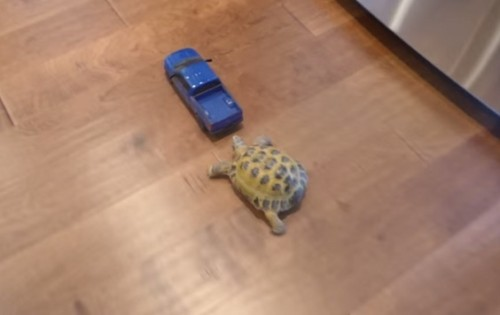 Watch The Battle Between A Tortoise And A Toy Car. Who Do You Think Had Won?