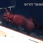 Giant Squid Caught by Russian Fishermen Might Prove that Kraken Exist