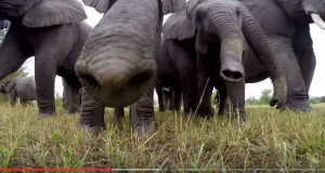 How Elephants Reacted When They Meet an Advance Gadget, a GoPro Camera