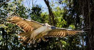 "Philippine Eagle ""Pamana"" Shot Dead Two Months After Being Released"