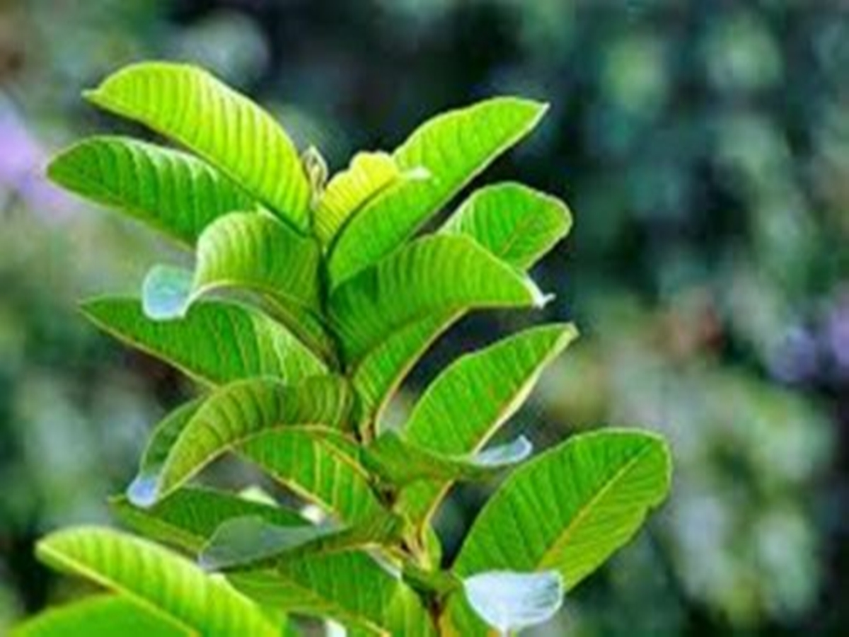 The Health Benefits of Guava Leaves in Our Body
