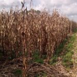 10, 000 Hectares of Cornfield, Damaged by Drought