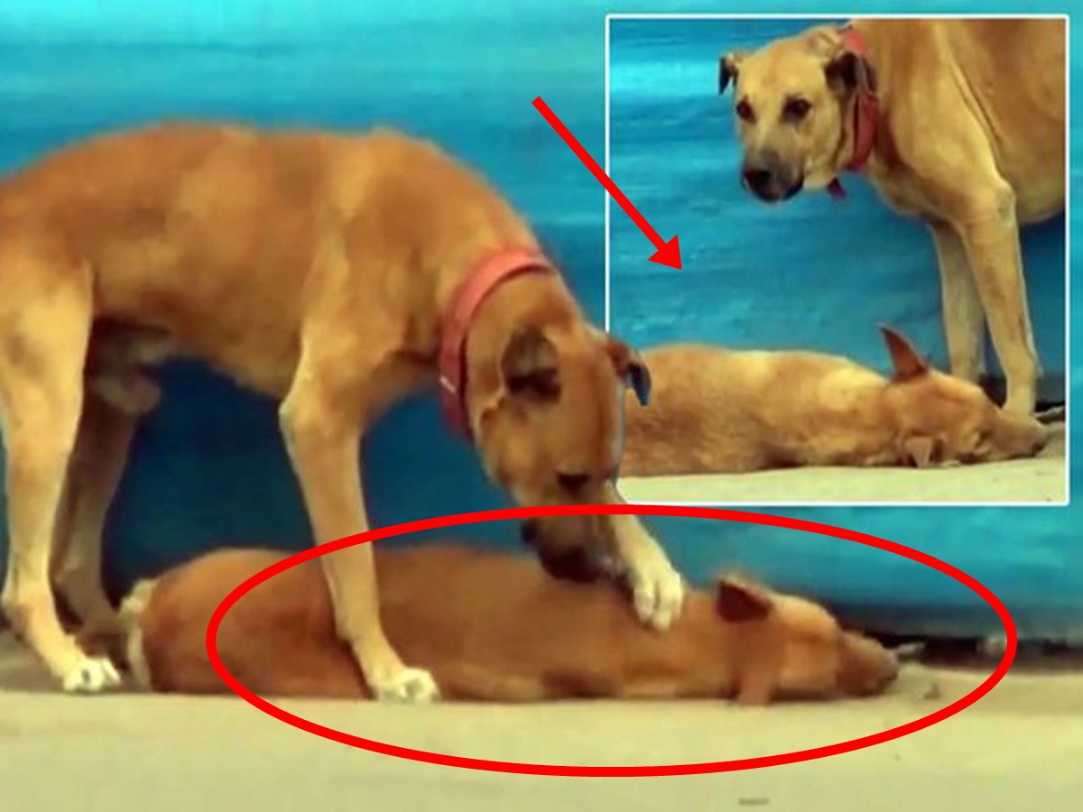 Homeless Dog Stayed And Desperately Tries To Revive His Lifeless Friend