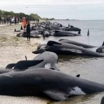 Look! Mass Stranding Of Whales In New Zealand Leaves Not Below 250 Animals Dead