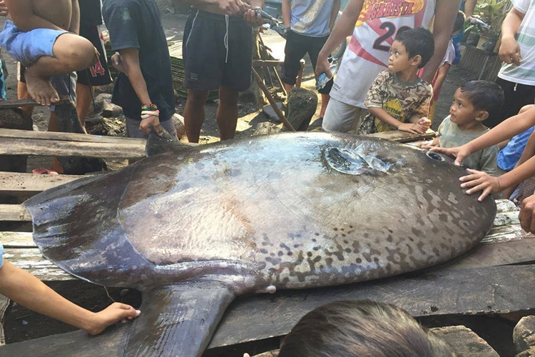 Another Deep Sea Creature Found: Sunfish Or Mola Mola Spotted In Misamis Oriental