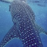 Whale Shark Stocked In Shallow Waters Of Negros Occidental
