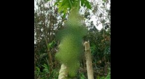"LOOK: Papaya Tree Bears ""Guava"" Fruits in Iloilo (Photo)"
