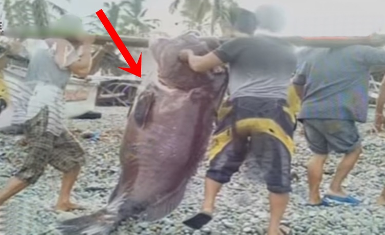 Giant Sea Creature Caught By Fisher Folks In Surigao City