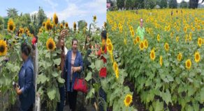 Sunflower Farms: New Booming Tourist Attraction In Negros Occidental