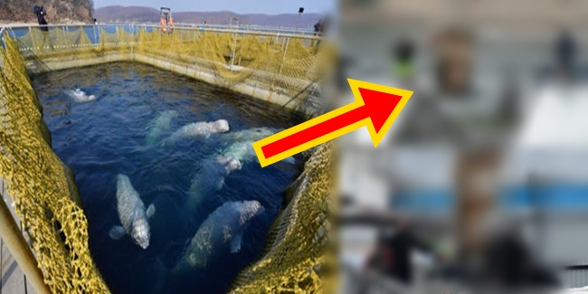 Russia whales freed