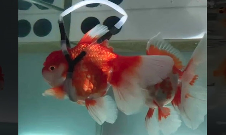 goldfish-wheelchair-1