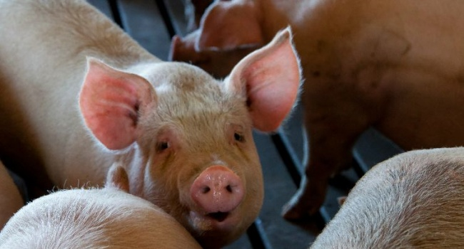 ASF Not Present In Processed Meat Products According To PAMPI