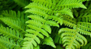 FERN LIFE CYCLE – The Three Stages Of Its Cycle