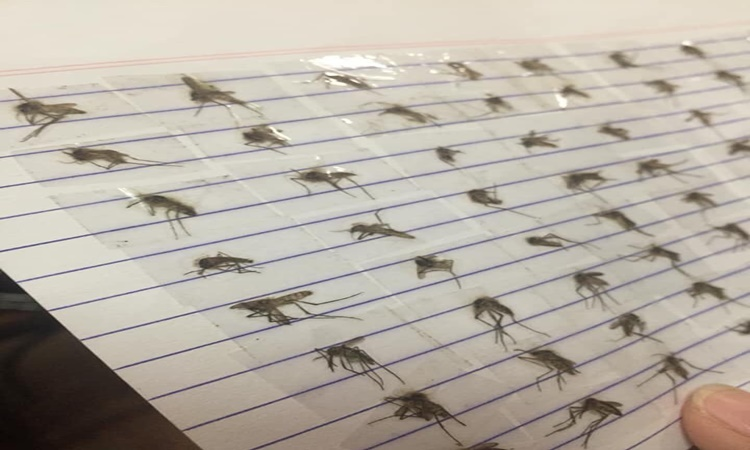 Student-collects-dead-mosquitoes-2