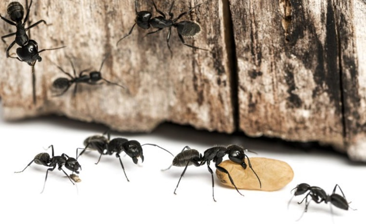 home remedies ants
