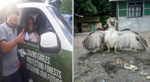 Female Philippine Eagle Rescued by Fishermen of Dampilan in Sarangani