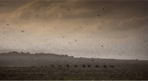 Worst Locust Swarm in Decades Invades East Africa, Destroy Lot of Crops