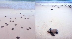 Dozens of Newly Hatched Rare Olive Ridley Turtles Spotted in Boracay