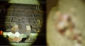 Undercover Footage Shows Chicken Laying Eggs Next To Corpses