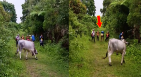 Group of Mountaineers Goes Viral After Passing the Cow Blocking Their Way