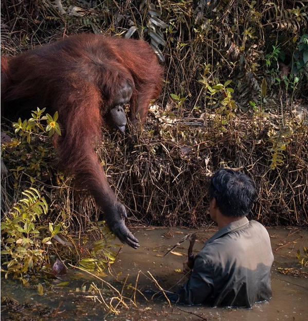Orangutan Helps Man Out Of Snake-Infested Waters