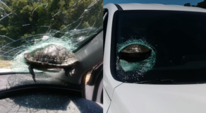 Flying Turtle Almost Decapitates Head Of Driver, Smashes Windscreen
