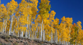 What Is The Scientific Name Of Quaking Aspen? (ANSWERS)