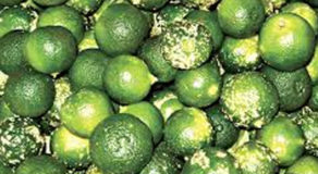 What Is The Scientific Name Of Calamansi? (ANSWER)