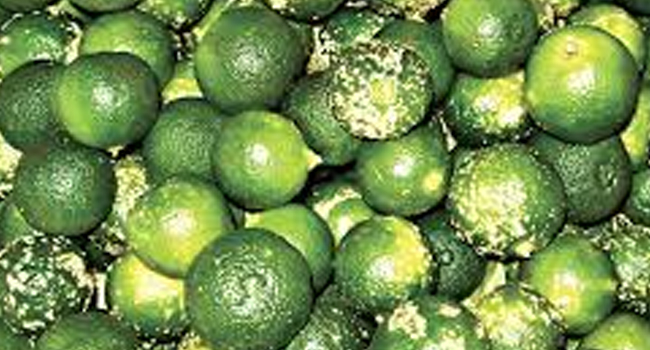 SCIENTIFIC NAME OF CALAMANSI