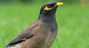 What Is The Scientific Name Of Common Myna? (ANSWERS)