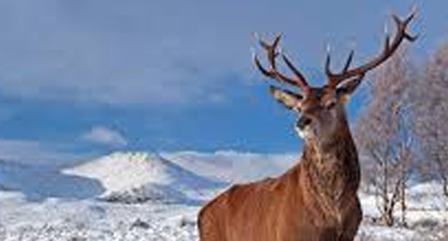 SCIENTIFIC NAME OF KASHMIR STAG
