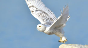 What Is The Scientific Name Of Snowy Owl? (ANSWERS)