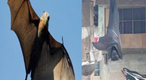 Giant Bats From the Philippines Scare People From Social Media