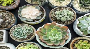 How To Water Succulents? Here Are Tips On When & How Often You Must Water It