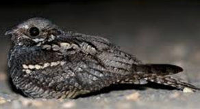 What Is The Scientific Name Of European Nightjar? (ANSWER)