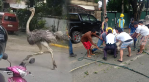 Celebrities React to Viral Ostrich Spotted Running Inside Village in QC