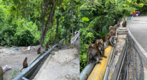 Group of Wild Monkeys in Oslob, Cebu Spotted Hanging Out on the Street