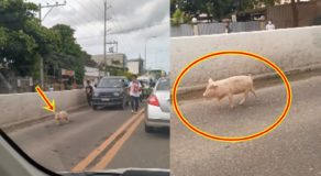 Swine Spotted Running Carefree & Causes Traffic Congestion in Cebu City