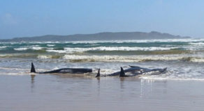 Few Whales More Likely To Survive In Mass Stranding Off Tasmania