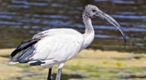 What Is The Scientific Name Of African Sacred Ibis? (ANSWER)