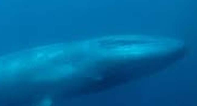 SCIENTIFIC NAME OF BLUE WHALE
