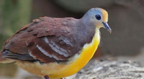 What Is The Scientific Name Of Cinnamon Ground Dove? (ANSWER)