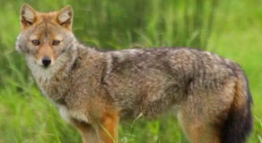 What Is The Scientific Name Of Golden Jackal? (ANSWER)