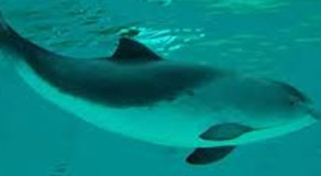What Is The Scientific Name Of Harbour Porpoise? (ANSWER)