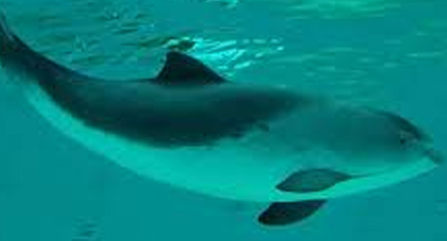 SCIENTIFIC NAME OF HARBOUR PORPOISE