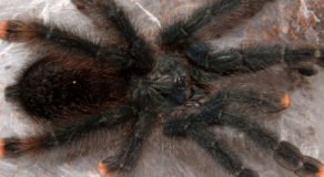 What Is Avicularia? About The Genus Of Flying Spiders