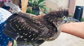 PHOTO: Rufous Night-Heron Turned Over To Environment Staff In GenSan City