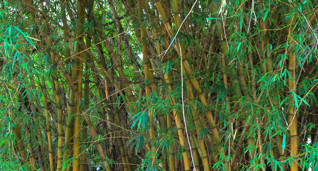 SCIENTIFIC NAME OF COMMON BAMBOO