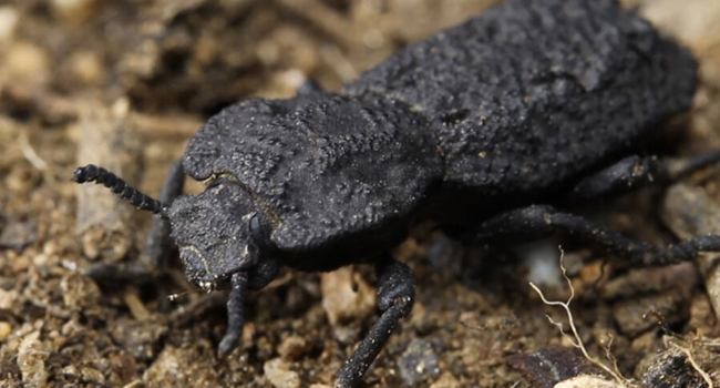 SCIENTIFIC NAME OF DIABOLICAL IRONCLAD BEETLE